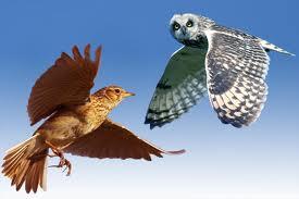 lark v owl